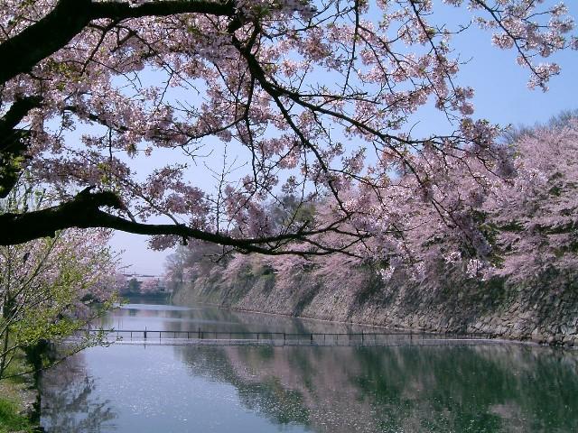 日本櫻花祭三 Mychat 數位男女 生態 風景